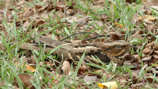 large-tailed nightjar sleeping on the ground - camouflage stock videos & royalty-free footage
