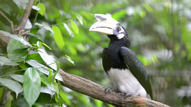 largirostrornis bird standing on the branch in zoo - limb body part stock videos & royalty-free footage