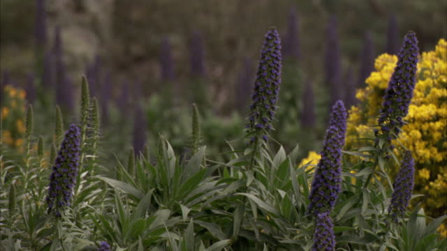 larkspur sways with a breeze near gorse in tresco abbey gardens, isles of scilly. available in hd. - isles of scilly stock videos & royalty-free footage