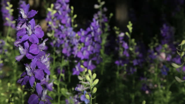 Larkspur_Flowers