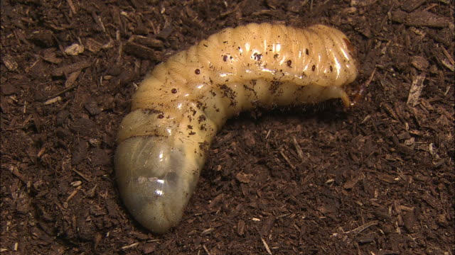 Larva Of Japanese Rhinoceros Beetle