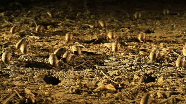 larva of korean blockish cicada crawling out of ground / south korea - hole stock videos & royalty-free footage