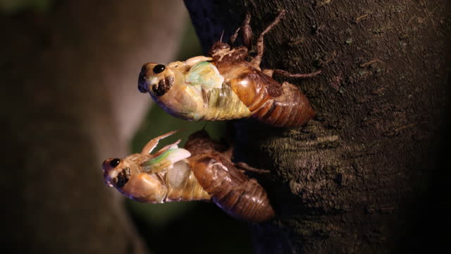 vidéos et rushes de larva of korean blockish cicada molting on tree / south korea - scène tranquille