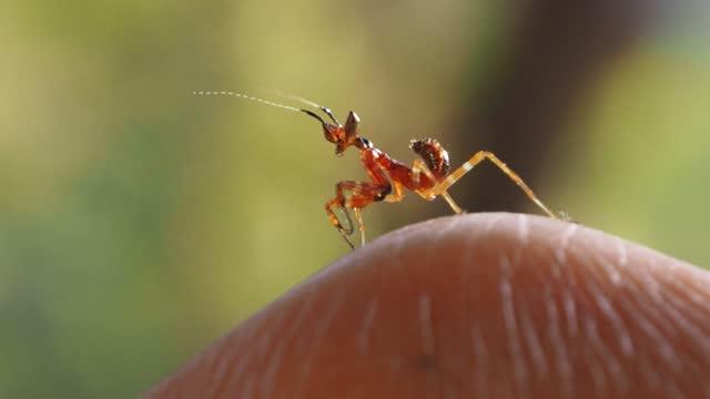 指にカマキリを祈る幼虫 - 大三角帆点の映像素材/bロール