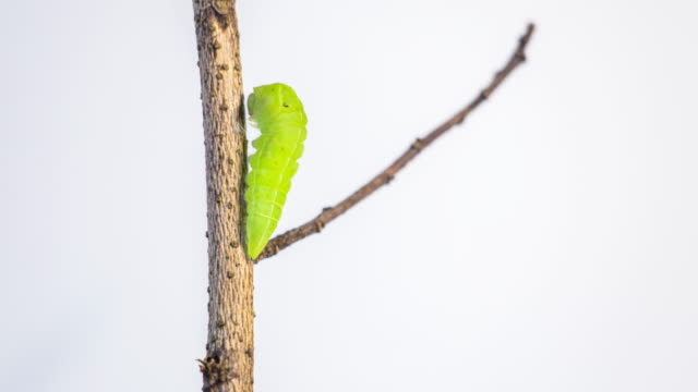 larva pupae on a branch - butterfly stock videos & royalty-free footage