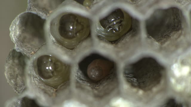 larvae and eggs of paper wasp - small group of animals stock videos & royalty-free footage