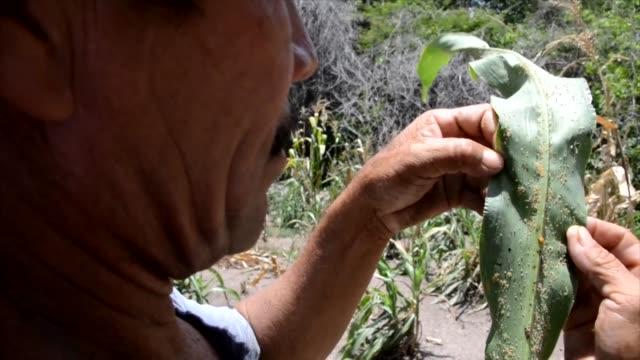 stockvideo's en b-roll-footage met las autoridades de nueva morolica, al sur de honduras declararon una emergencia alimentaria ante la escasez de comida que enfrenta la comunidad... - agricultura