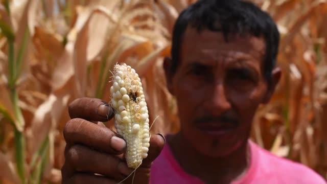stockvideo's en b-roll-footage met las autoridades salvadorenas declararon este martes alerta en gran parte del territorio ante una fuerte sequia que ha causado perdidas en granos... - agricultura