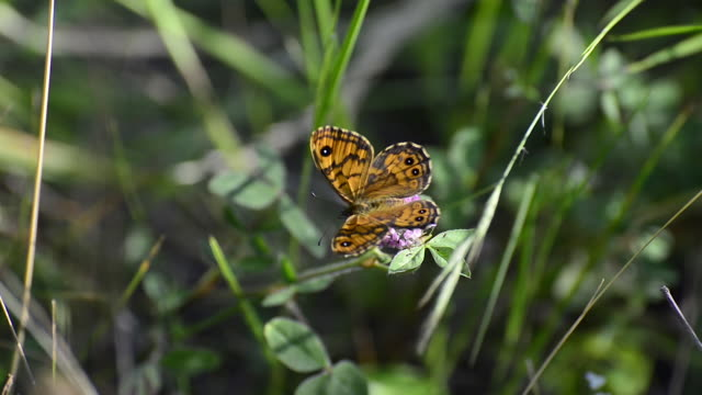 Lasiommata megera (Wall brown butterfly)