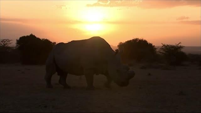 last male white northern rhino dies t28011507 / 2812015 sudan the last male white northern white rhino as the sun rises white northern rhinoceros... - sudan stock videos & royalty-free footage