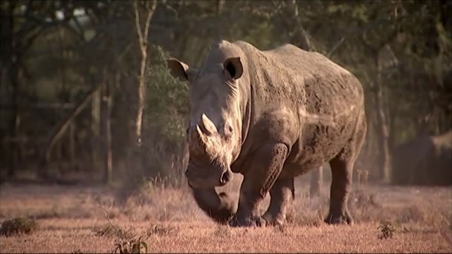 last male white northern rhino dies t28011507 / 2812015 sudan the last male white northern white rhino along - sudan stock videos & royalty-free footage