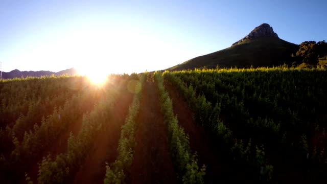vídeos y material grabado en eventos de stock de últimos rayos de luz sobre el vides - cabo winelands