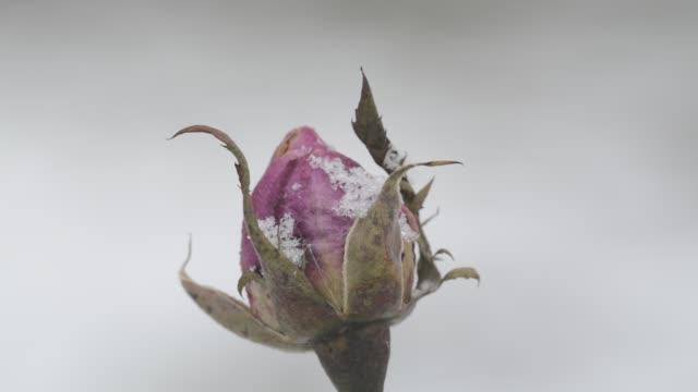 Last rosebud of summer