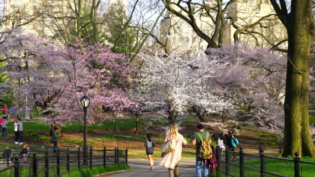 Late afternoon sunlight illuminates the people on the pathway, and Cherry blossoms trees in Central Park New York. Cars run on the park road behind the Cherry blossoms. Central Park East Residences can be seen behind.