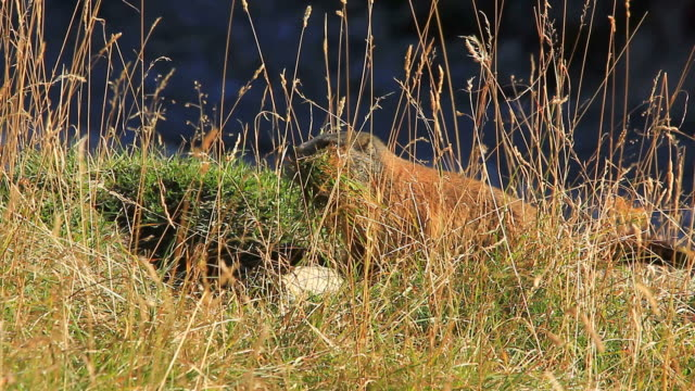 late summer, groundhog, marmot collecting weeds for winter, disappears in burrow