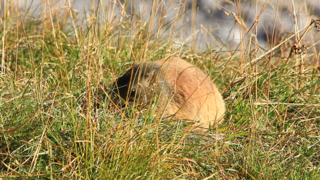 late summer, groundhog, marmot collecting weeds for winter