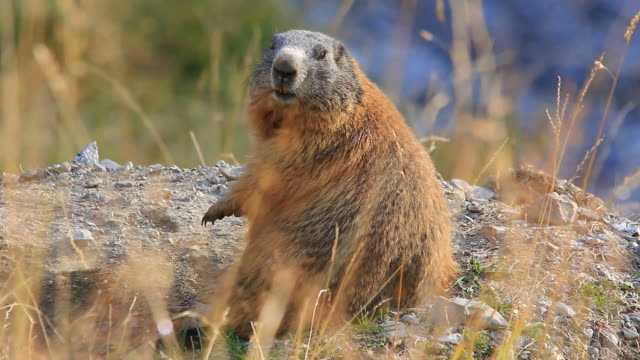 late summer, groundhog, marmot  - marmot stock videos & royalty-free footage