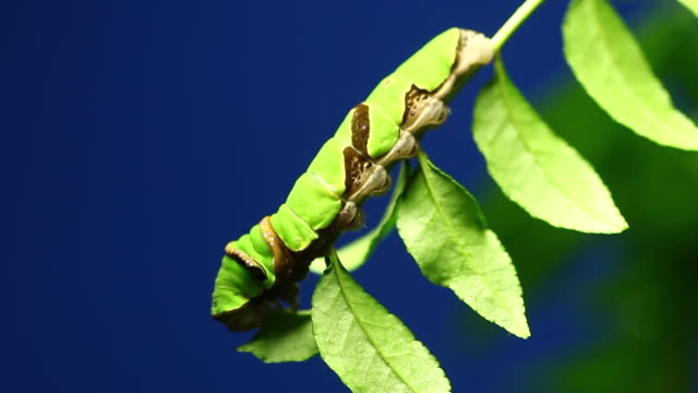 late-instar larval stage of long-tail spangle swallowtail (papilio macilentus) - blue background stock videos & royalty-free footage
