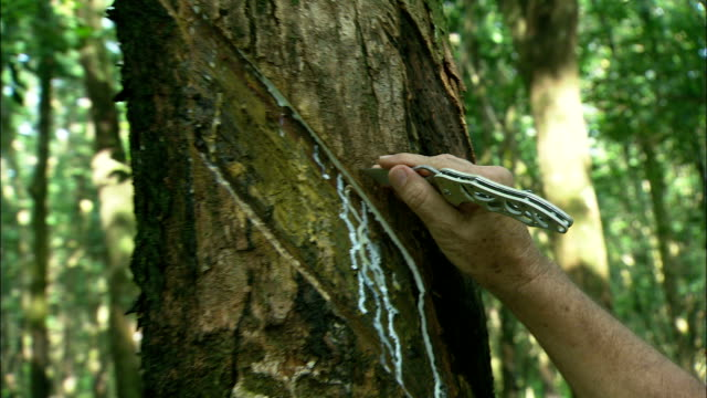 vídeos de stock, filmes e b-roll de latex flows from cuts as an agricultural worker slices the trunk of a rubber tree. - látex borracha