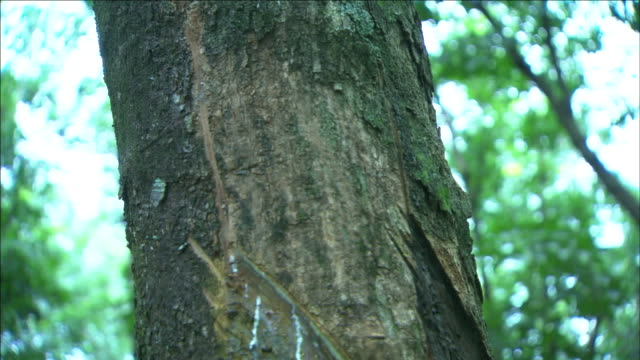 latex flows from cuts on the trunk of a rubber tree. - latex stock videos & royalty-free footage