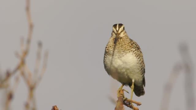 latham's snipe (gallinago hardwickii) in kuril islands - sandpiper stock videos & royalty-free footage