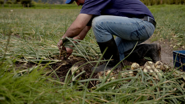 latin american farmer working hard collecting the onion harvest - picking up stock videos & royalty-free footage