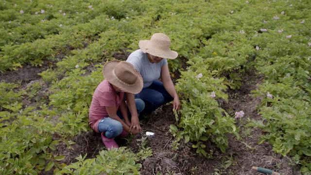 vídeos y material grabado en eventos de stock de madre latinoamericana enseña a su hija sobre cosechar papas - américa del sur