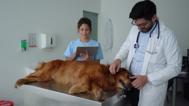 latin american vet checking a golden retriever at consult while assistant takes notes on tablet - animal hospital stock videos & royalty-free footage