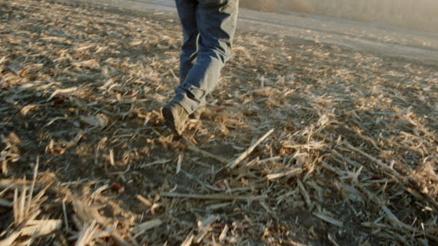 vídeos de stock, filmes e b-roll de um agricultor de latino em seu 50s percorre um campo de milho na colheita ao pôr do sol - jeans