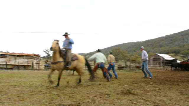 latrobe california cowboys branding cows in ranch  with horses and ropes - tie stock videos and b-roll footage