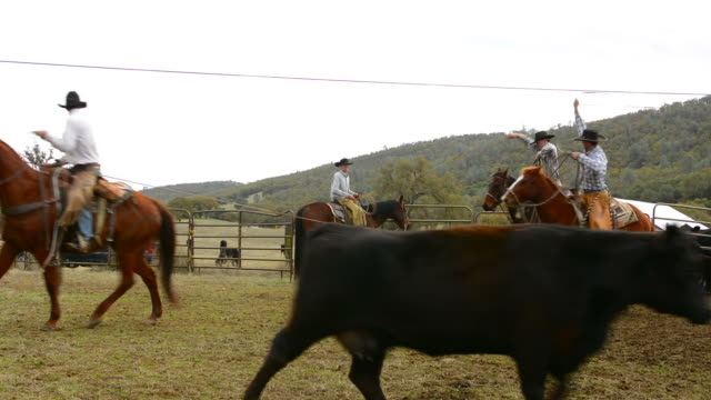 Latrobe California cowboys branding cows in ranch  with horses and ropes