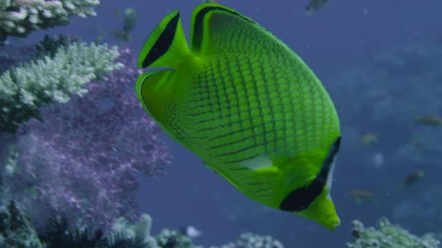 latticed butterflyfish (chaetodon rafflesi) swims over coral reef, fiji - butterflyfish stock videos & royalty-free footage