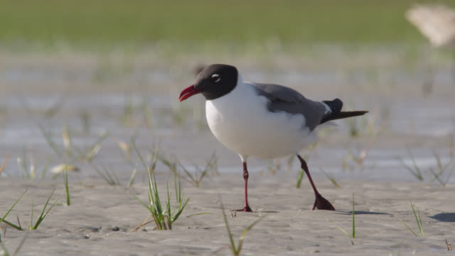 laughing gull forages on marshland, north carolina - djurmun bildbanksvideor och videomaterial från bakom kulisserna