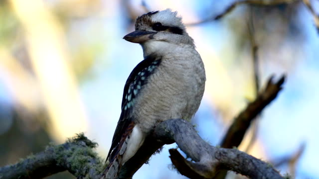 laughing kookaburra - laughing stock videos and b-roll footage