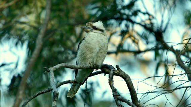 laughing kookaburra - victoria australia stock videos & royalty-free footage