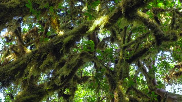 Laurisilva / Fog forest ' Monteverde ' in Garajonay National Park in La Gomera / Spain