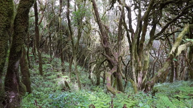 Laurisilva / Fog forest ' Monteverde ' in Garajonay National Park in La Gomera / Spain