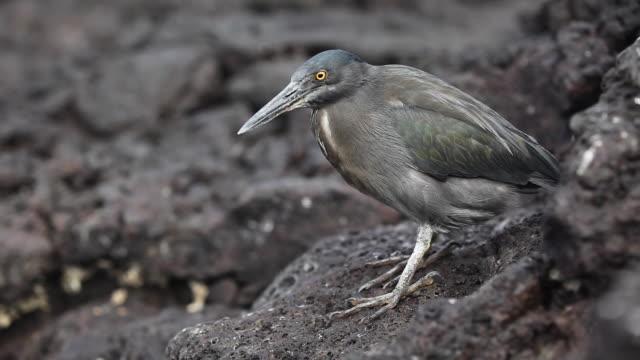 lava heron - heron stock videos & royalty-free footage