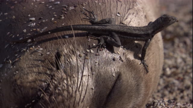 vidéos et rushes de a lava lizard eats flies from the face of a sleeping galapagos fur seal. available in hd. - otarie à fourrure
