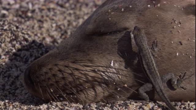 vídeos y material grabado en eventos de stock de a lava lizard eats flies off the face of a sleeping galapagos fur seal. available in hd. - foca peluda