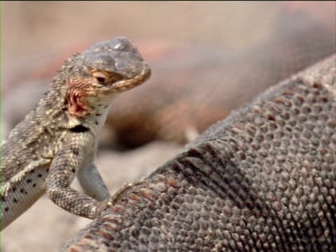 a lava lizard leans on an iguana as it looks around. - galapagos land iguana stock videos & royalty-free footage