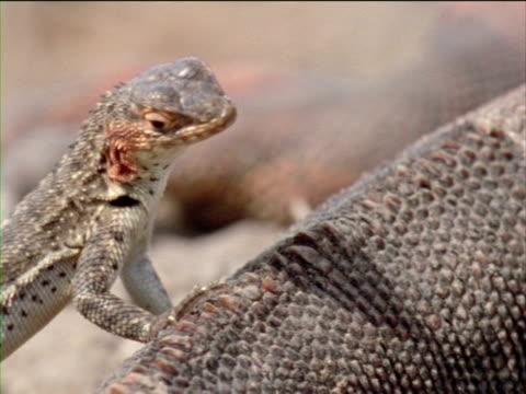 vídeos y material grabado en eventos de stock de a lava lizard leans on an iguana as it looks around. - iguana de los galápagos