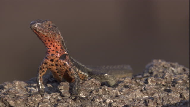 a lava lizard perches on a rock. available in hd. - ecuador stock videos and b-roll footage