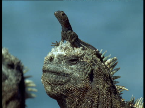 stockvideo's en b-roll-footage met lava lizard sits on marine iguanas head as it turns and blows salt from its nasal glands, lizard runs off, galapagos - blaas urinewegstelsel