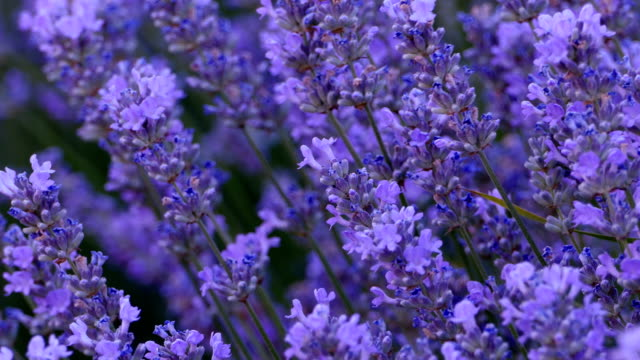 lavender 4k - homeopathic medicine stock videos and b-roll footage