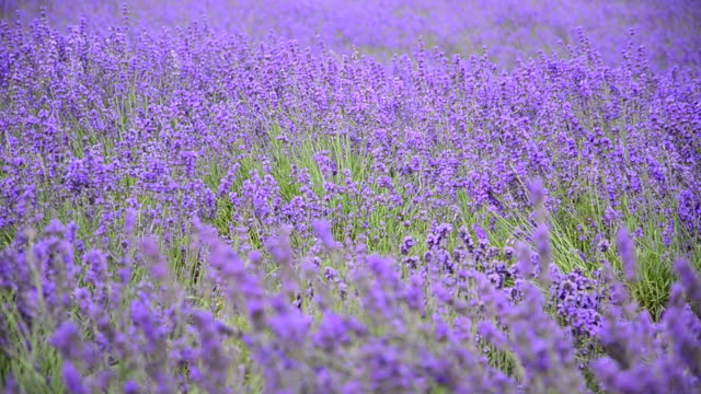 lavender against the wind. - essential oil stock videos and b-roll footage