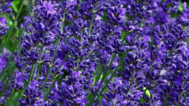 lavender and bees - 植物 ラベンダー点の映像素材/bロール