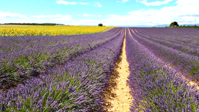 lavender and sunflowers in plateau de valensole - cote d'azur stock videos & royalty-free footage