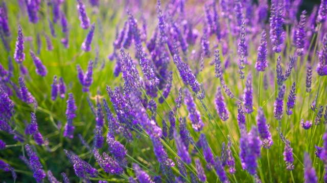 lavender bush dancing in the wind - flowerbed stock videos & royalty-free footage
