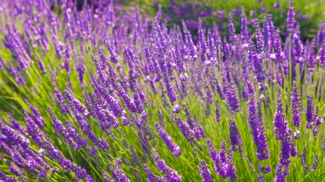 lavender bush dancing in the wind - landscaped stock videos & royalty-free footage